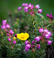 Mountain Heather and Buttercups